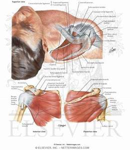 Muscles Of Rotator Cuff