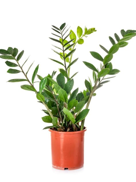 ZZ Plant Leaf Propagation: How To Root ZZ Plant Cuttings
