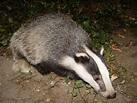 Badger - Wikipedia
