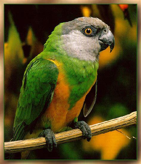 senegal parrot sj scans critteria 3 senegal parrot image only