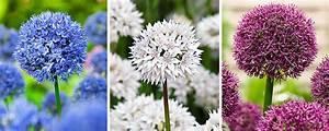 Allium Pflanzen Im Frühjahr : allium pflanzen f r mehr tipps zum garten und pflanzen schauen sie auch auf ~ Yasmunasinghe.com Haus und Dekorationen