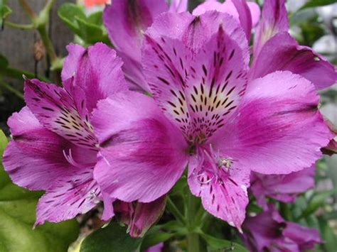 items similar  alstroemeria purple hybrid tall