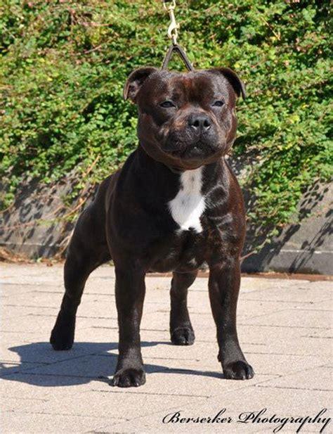 Best Staffordshire Bull Terriers Ideas On Pinterest