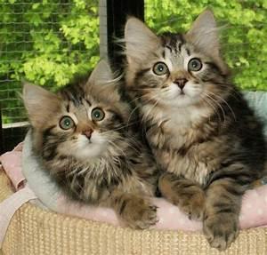 Mit Katze Umziehen : sibirische katze katzen seite 13 ~ Michelbontemps.com Haus und Dekorationen