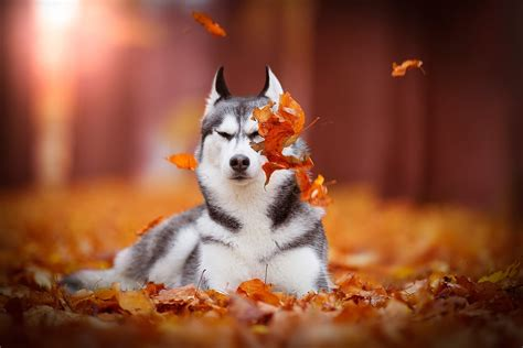 Fall Backgrounds Dogs by Husky Hd Wallpaper Background Image 1920x1280 Id