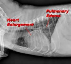 cat congestive failure pet talk in illinois the senior pet x rays