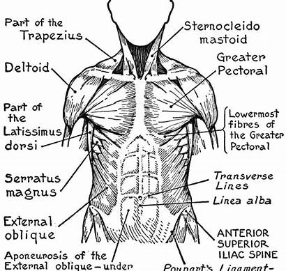 Muscles Coloring Pages Anatomy Worksheet Muscular System