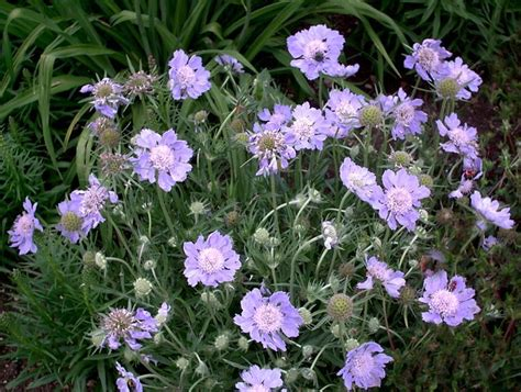 Scabiosa Caucasica Perfecta The Best Flowers All The