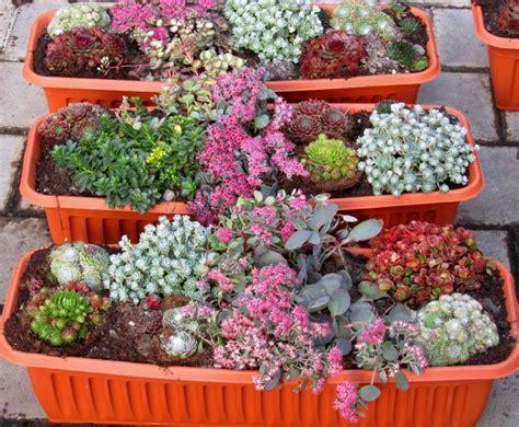 winterharte pflanzen für balkon bepflanzter balkonkasten 60 cm sempervivum sedum wintergr 252 n pflanzen versand f 252 r die besten