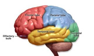 Brain Lobes and Functions