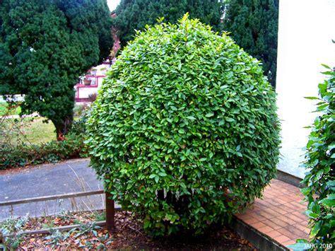 garden bushes evergreen shrubs the garden palette