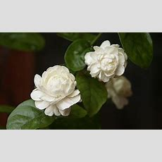 Jasmine Plant A Stepbystep Care Guide For Success