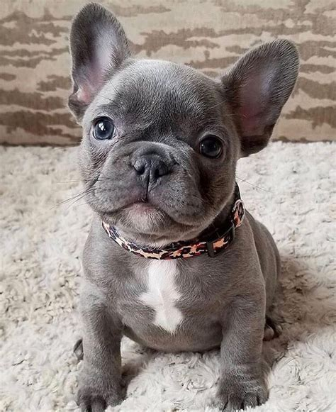 adorable blue french bulldog puppy dogspuppies