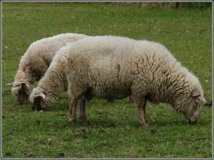 Le Mouton A 5 Pattes : mouton image 100 ~ Louise-bijoux.com Idées de Décoration