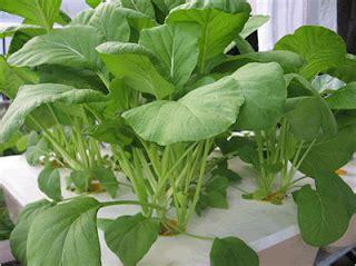 Ini sekian resep bakwan jagung ala fimela dengan banyak variasi. Apa Itu Hidroponik ?? | Bukan Sekedar Materi