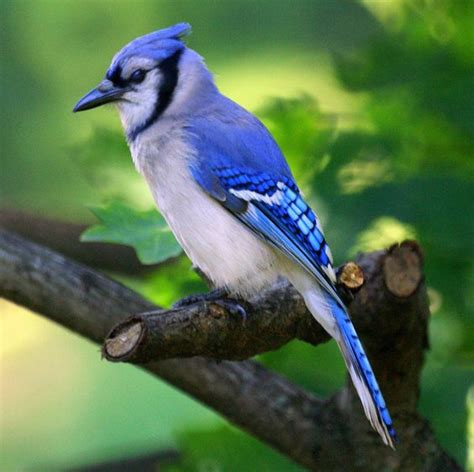 blue jay bird picture and facts blue jay bird school