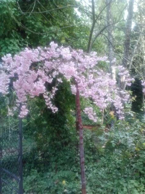 light pink flowering tree light pink flowers hanging from tree thru the garden gate pintere