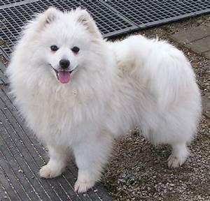 99 best Miniature American Eskimo Dogs images on Pinterest ...