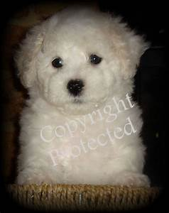 pedigree bichon frise puppies for sale benfleet
