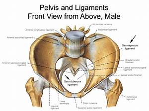 Pelvis Anatomy - Recon