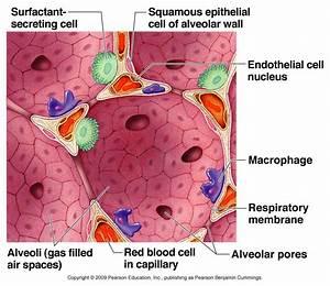 Alveoli Cell Diagram