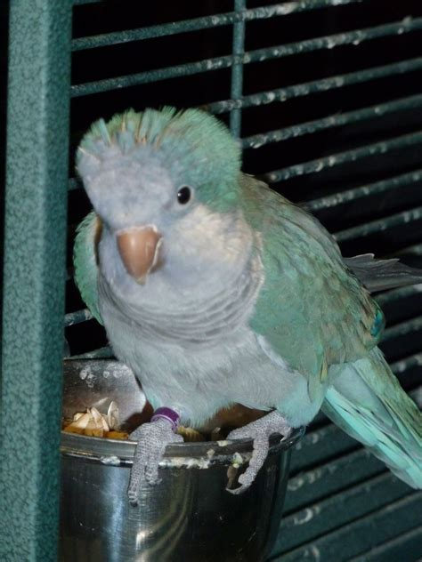 Quaker Parrot Free To Good Home Rochdale Greater Manchester Petshomes