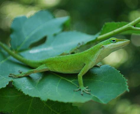 lizard genome sequenced broad institute