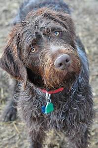 Idaho Outback Wirehaired Pointing Griffons | Hunting Dog ...