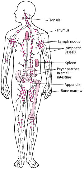 overview   lymphatic system heart  blood vessel