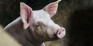 Cellular Activity In Pig Brains Was Restored Four Hours