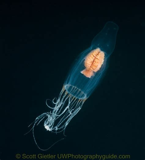 underwater jellyfish photography jellyfish salps pelagic invertebrates underwater Underwater Jellyfish Photography