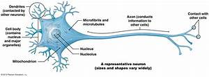 A Neuron  Showing The Cell Body  Dendrites  And Axon