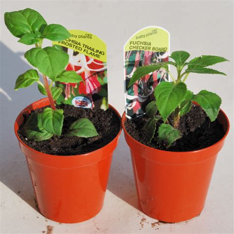 planting fuchsias in pots how to grow a fuchsia standard