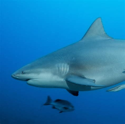 National Geographic Bull Shark