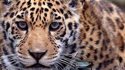 Animal Wallpapers Funny Animals Wild Desktop Leopard