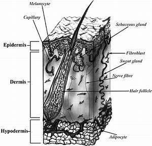 Diagrammatic Representation Of Skin Structure  Skin Is