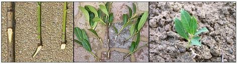 vermehrung kirschlorbeer kirschlorbeer selber vermehren ableger besser als stecklinge
