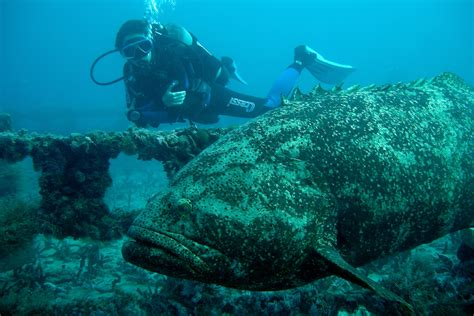 grouper giant fish dangerous meters pounds weight three