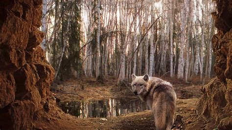 forest backdrop wolf wallpaper android apps on play