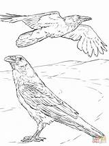 Raven Coloring Pages Crow Common Printable Ravens Pied Crows Bird Template Superhero Sheets Colouring Rabe Drawing Druid Realistic Adult Drawings sketch template