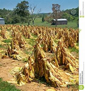 Tennessee Tobacco Farm stock photo. Image of cone, field ...