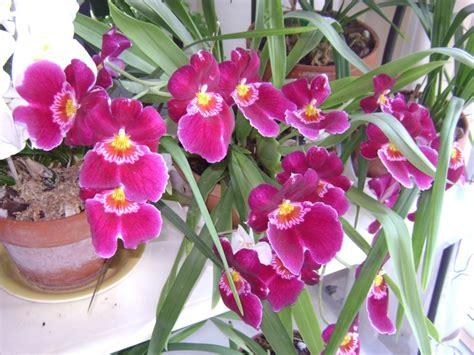 orchid 233 e vanda en fleurs