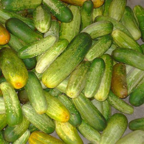 Cucumber Seeds by Cucumber Seeds 100 Pcs Japanese Cucumber Seeds