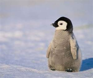 BABY PENGUIN - Birds & Animals Background Wallpapers on ...