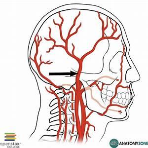 Superficial Temporal Artery • Cardiovascular • AnatomyZone
