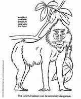 Baboon Coloring Animal Wild African Animals Drawing Mandrill Africa Sheet Drawings Printable Monkeys Face Honkingdonkey Sheets Wolf Popular Learning Activity sketch template