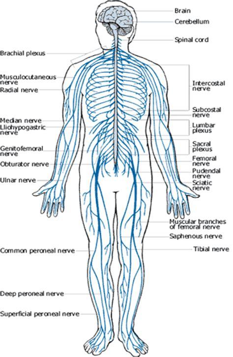 inizio sistema nervoso
