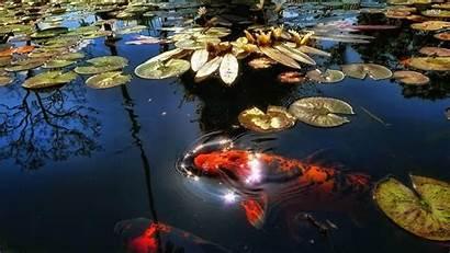 Koi Pond Wallpapers Fish