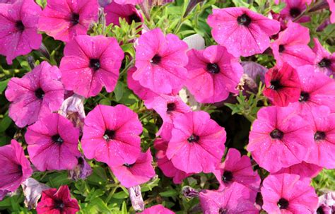 plant petunias petunias how to plant grow and care for petunias the old farmer s almanac