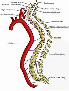 An Overview Of Blood Supply To The Spinal Cord  The Spinal
